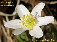 anemone_nemorosa_01