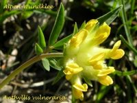 anthyllis_vuleraria_01