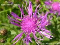 centaurea_jacea_01