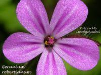 geranium_robertianum_01