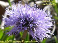 globularia_nudicaulis_01