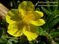 helianthemum_nummularium_01