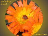 hieracium_spec_01