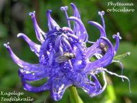 phyteuma_orbiculare_01
