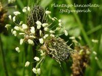 plantago_lanceolata_01