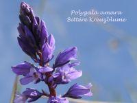 polygala_amara_01