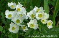 anemone_narcissiflora_01