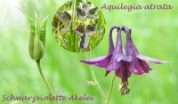 aquilegia_atrata_01