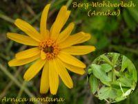 arnica_montana_01