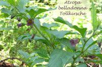 atropa_belladonna_01