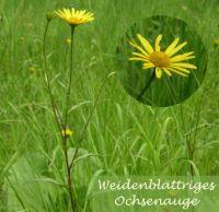 buphthalmum_salicifolium_01
