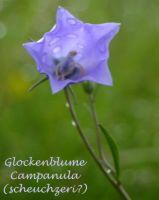 campanula_persicifolia_01