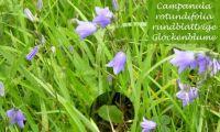 campanula_rotundifolia_01