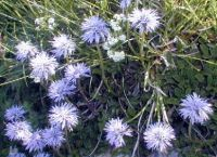 globularia_cordifolia_01