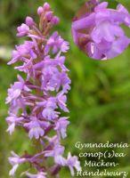 gymnadenia_conopsea_01