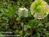helleborus_niger_01