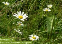 leucanthemum_vulgare_01