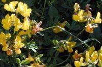 lotus_corniculatus_01