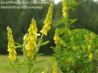 melilotus_officinalis_01