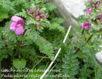 pedicularis_rostrato-capitata_01