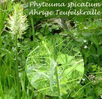 phyteuma_spicatum_01