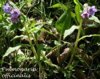 pulmonaria_officinalis_02