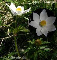 pulsatilla_alpina_01