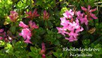 rhododendron_hirsutum_01