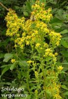 solidago_virgaurea_01