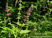 stachys_sylvatica_01