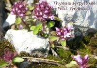 thymus_serpyllum_01