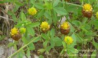 trifolium_badium_01