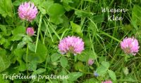 trifolium_pratense_01