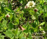 trifolium_repens_01
